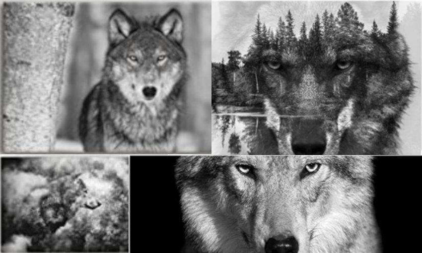 Wolfsbilder auf Leinwand