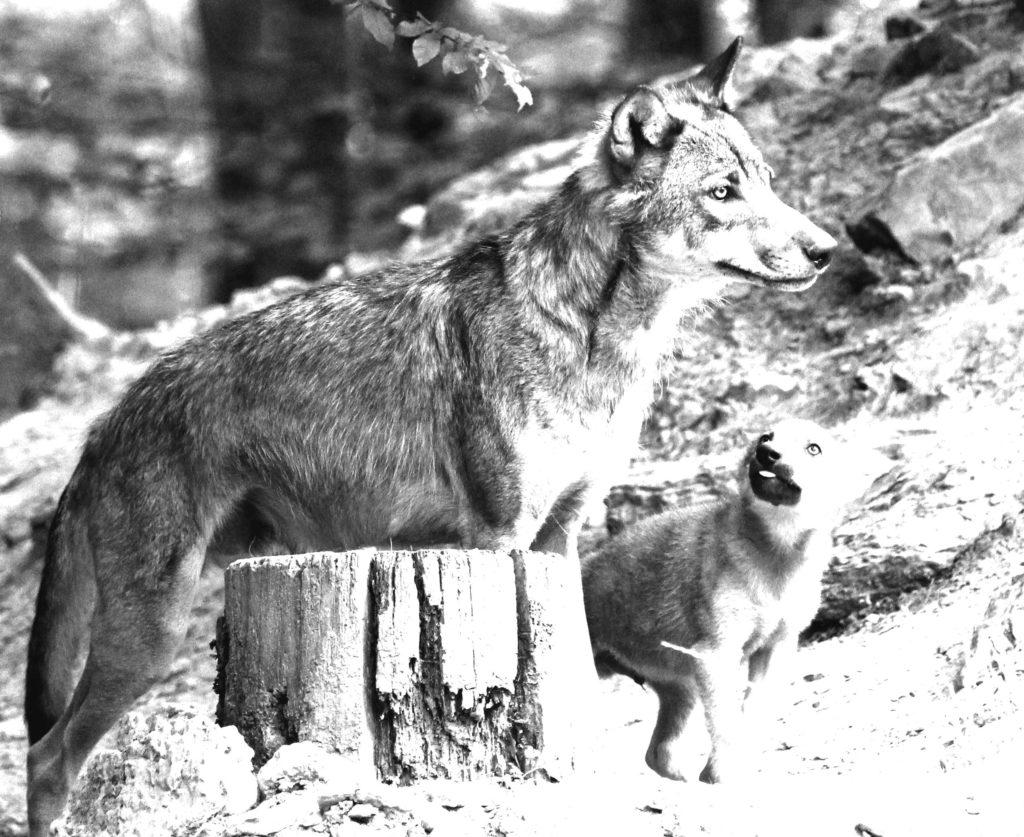 angelwolves
