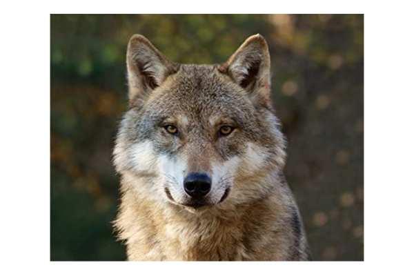 Kühlschrankmagnet Wolfskopf